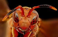 Wasp, vespa