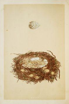 Great Grey Shrike Nest & Eggs Reverend Morris by PaperPopinjay
