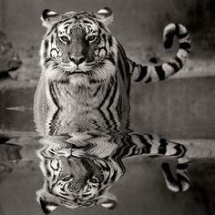 Gorgeous tiger.