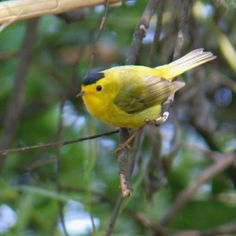 Wilson's Warbler - seen only one time @ campground in Warner's Springs in San Diego back copuntry