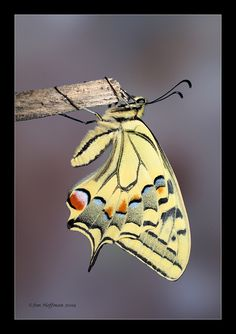 Papilio machaon  By: Jim Hoffman