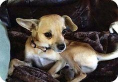 Brattleboro, VT - Chihuahua Mix. Meet OSCAR, a dog for adoption. http://www.adoptapet.com/pet/16844135-brattleboro-vermont-chihuahua-mix