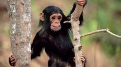 fondos de pantalla de animales tiernos chimpance