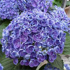 Hortensia - Hydrangea macrophylla Hovaria Hopcorn Plus Hydrangea Macrophylla, Hortensia Hydrangea, Hydrangea Garden, Hydrangea Flower, My Flower, Unusual Flowers, Types Of Flowers, Purple Flowers, Beautiful Flowers