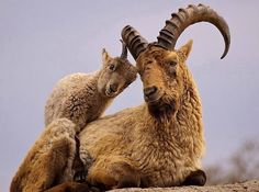 Ibex with cub