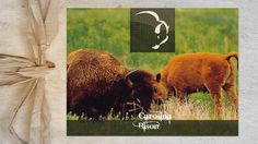 Carolina Bison • Located in the lush Blue Ridge Mountains of Western North Carolina, Carolina Bison raises its herd on top-quality grasses and pure mountain spring water.