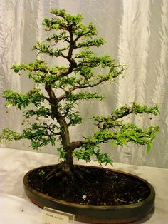 Growing a Bonsai tree is more of a self-help type of effort to discipline your mind and character.