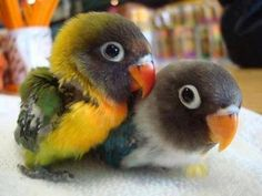 Baby black faced lovebirds ( green and blue)