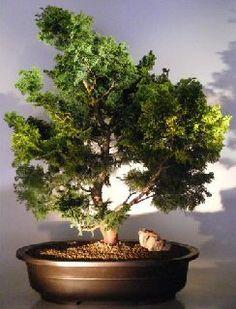 Dwarf Hinoki Cypress Bonsai Tree
