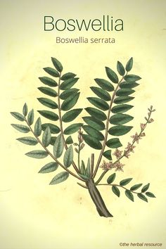 The Herb Boswellia Serrata. A a c c I r.  Arthritis, asthma, crohn's, immune, rheumatoid, Pakistan and India watch out often contaminated and hard to find reputable co Legeres pharmacy sends it to our office  also India frankincense, guggul