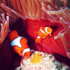 Nemo and his Dad couldn't resist making an appearance at the Queensland Instammeet. Photo @reefcruises on the  Great Barrier Reef http://blog.queensland.com/2014/10/04/animal-love-queensland-instameet/ #thisisqueensland