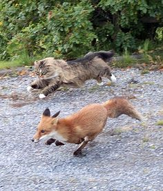 Norwegian forest cat running with a fox