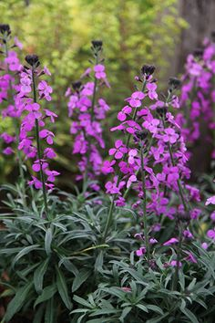 Perennial wallflower..... Erysimum 'Bowles's Mauve. Just try to keep the bees away.
