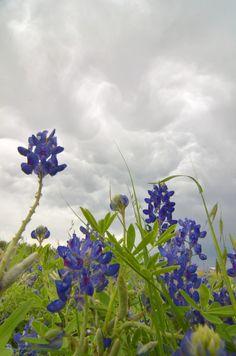 Texas Bluebonnets Under A Stormy Sky