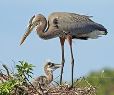 Whether you enjoy birdwatching to spot new species, or to capture them on photographs, Florida has plenty of great spots for finding flocks of birds. Learn more here: http://www.mustdo.com/articles/?p=2531Grey Heron mother with chick. Marjie Goldberg Photography.