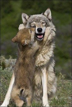 Wolf pup says hi to mom