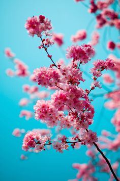 pink blossoms and blue sky. It looks like a bubble gum colour combo!!