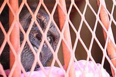 109 Best OLIVER-THE HUMANZEE images | Chimpanzee, Yahoo ...