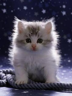Domestic Cat, Fluffy Silver and White Kitten Photographic Print by Jane Burton - Cute cats and kittens - Cats Cutest Kittens Ever, Kittens And Puppies, Cute Cats And Kittens, Baby Cats, Ragdoll Kittens, Bengal Cats, Small Puppies, Adorable Kittens, Baby Kitty