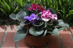 La violeta africana, una joya para interiores | EROSKI CONSUMER. La violeta africana debe su belleza, en buena medida, a la intensidad de los colores azules, morados y amarillos de sus hojas y estambres