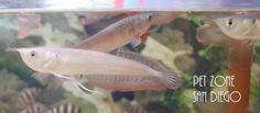 Pet Zone Tropical Fish - San Diego, California - Silver #Arowana, $34.99 (http://www.petzonesd.com/silver-arowana/)