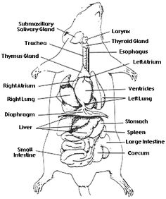 Rat dissection worksheet- Head, Thoracic , Abdominal Also