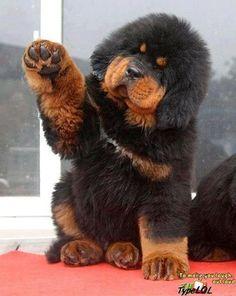 tibetan mastiff | Tibetan Mastiff Puppy