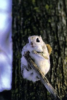 モモンガ--momonga (Japanese flying squirrels)