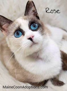 ROSE has been Adopted!!  Rose is a petite, spirited, playful kitty with incredible blue eyes!  MaineCoonAdoptions.com #CatsofMCA