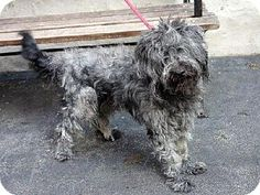 URGENT - High kill shelter-- ACC - New York, NY - Poodle (Miniature) Mix. Meet BODHI a Dog for Adoption.