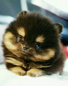Baby Pomeranians | baby teacup pomeranians - Google Search ...