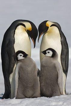 Penguin family...