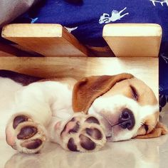 cute baby Cute Beagles, Cute Puppies, Dogs And Puppies, Beagle Puppies, Doggies, Beagle Breeds, Beagle Hound, Baby Beagle, Beagle Funny