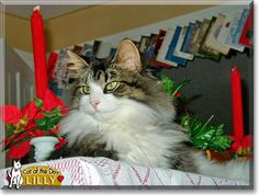 Read Lilly the Maine Coon mix's story from Ashtabula, Ohio and see her photos at Cat of the Day http://CatoftheDay.com/archive/2011/November/20.html .