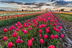 The many rows of tulips at Texas Tulips in Pilot Point, Texas