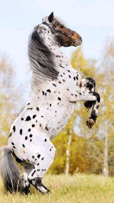 Cute Horse Pictures, Beautiful Horse Pictures, Most Beautiful Horses, Pretty Horses, Horse Love, Animals Beautiful, Caballos Appaloosa, Appaloosa Horses, Rare Horses