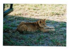 Color Lion Cub African Safari Photo Lupus Donation | eBay