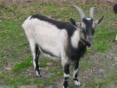 alpine goat info