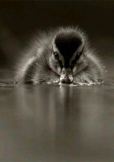 Wow. Amazing duckling photo.