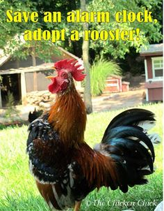 Save an alarm clock, adopt a rooster!  ~via The Chicken Chick