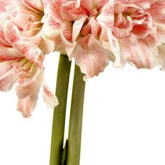 Kerrattu amaryllis First Love