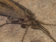 Caddis_fly_2