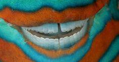 O sorriso do peixe-papagaio revela seu poder: os dentes que raspam as algas de rochas. Apesar de eventualmente destruir algum coral individual, o esforço do peixe vale a pena. Sem ele, as algas poderiam abafar o recife. A imagem foi registrada na Grande Barreira de Corais, em Queensland, Austrália David Doubilet/National Geographic Creative