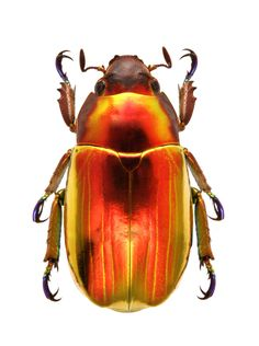 Photos - BUGS & INSECTS - Plusionota chrysargirea ignea
