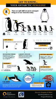 Did you know it's world penguin day? Wondering what world penguin day is all about? *Cuteness Alert* - Penguins in this Video Well, each year the world cel Penguin Day, Penguin Love, Penguin Parade, Penguin Craft, Penguins And Polar Bears, All About Penguins, Baby Penguins, Penguin Species, Penguin Breeds