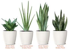 SNAKE PLANT VARIETIES: Indirect sunlight and don't water them too much, especially during the winter. In fact, it's better to let these plants dry out some between waterings. Toxic to Dogs & Cats.
