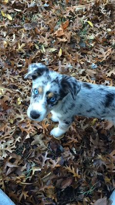 Ausky puppy| Australian Shepard Husky mix| blue eyes puppy| Auskies of Oklahoma