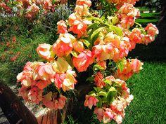 #Pink #Bush #Bushes #Cozumel #Mexico #CozumelMexico #Flower #Flowers #Plant #Plants #Pretty #Beauty #Beautiful #Outside #Nature #MotherNature #Green