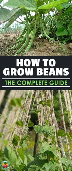 Learning how to grow beans means you'll never be without a great source of protein in your diet. They're one of the fastest and easiest veggies to grow! #beans #gardening #epicgardening