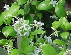 Jazmin helice – Trachelospermum jasminoides